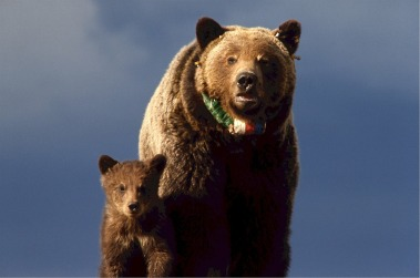 grizzly-bear-518242_1280